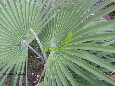 Trachycarpus princeps Blue silver