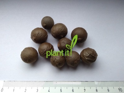 Ceroxylon parvifrons