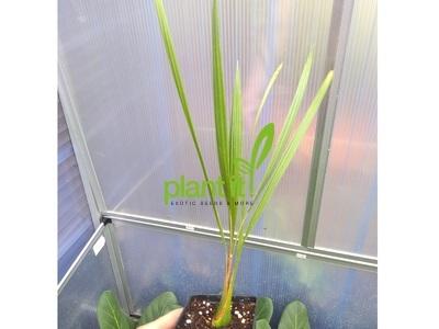 Butia catarinensis