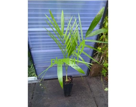 Chamaedorea radicalis Arborescent
