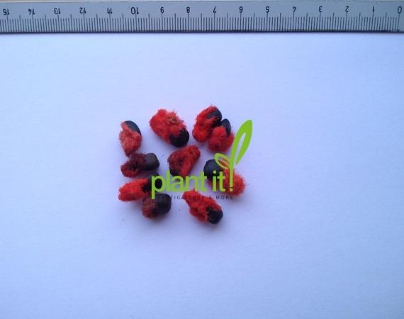 Phenakospermum guyannense