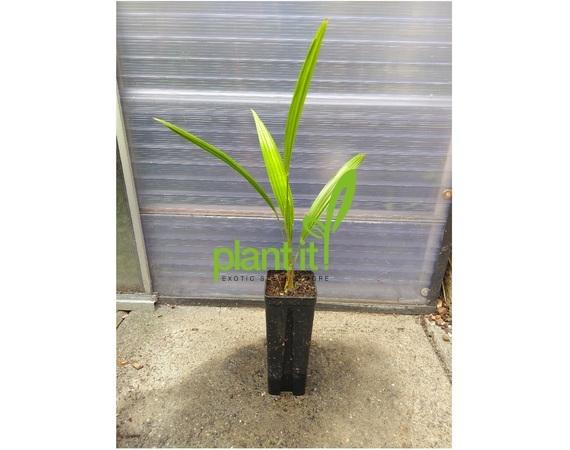 Palmzaailing 0,7 liter pot