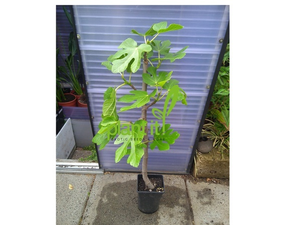 Ficus carica 'Plant it!'