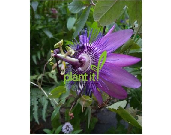 Passiflora caerulea Amethyst