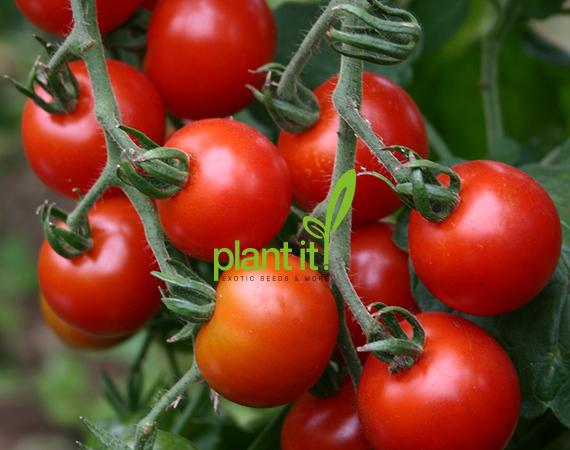 Cherrytomaat Zuckertraube