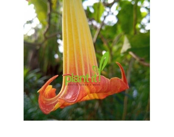 Brugmansia sanguinea