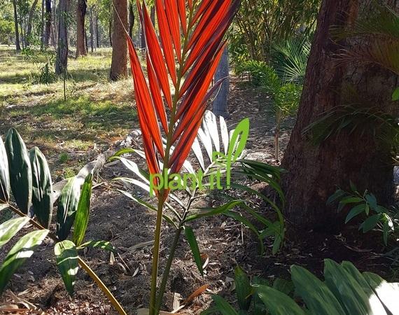 Chambeyronia macrocarpa red leaf