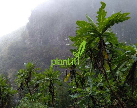 Sonchus fruticosus Madeira foto in habitat