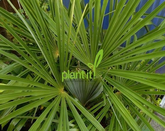 Trachycarpus fortunei Nainital 40-60 cm