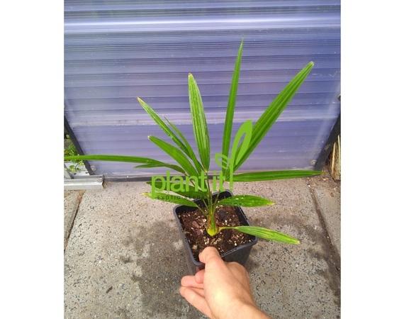Trachycarpus fortunei Nainital 20-40 cm