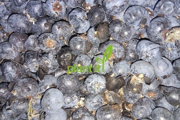 Trachycarpus wagnerianus x fortunei F1
