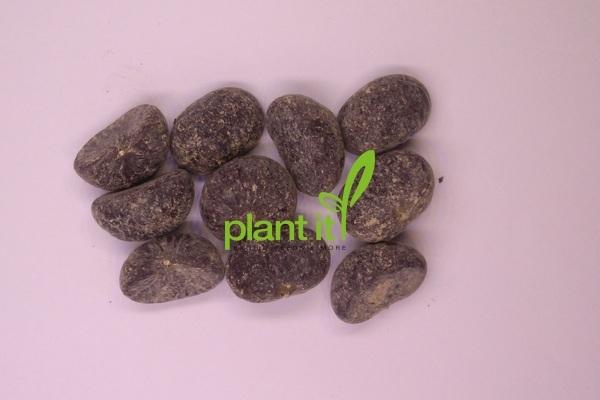Caryota maxima Himalaya