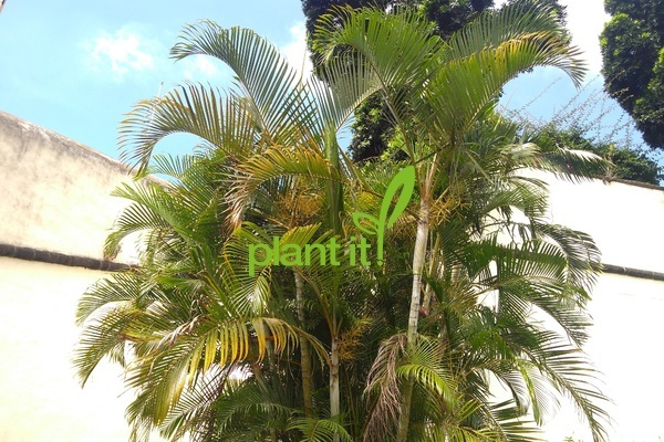 Chrysalidocarpus (dypsis) lutescens