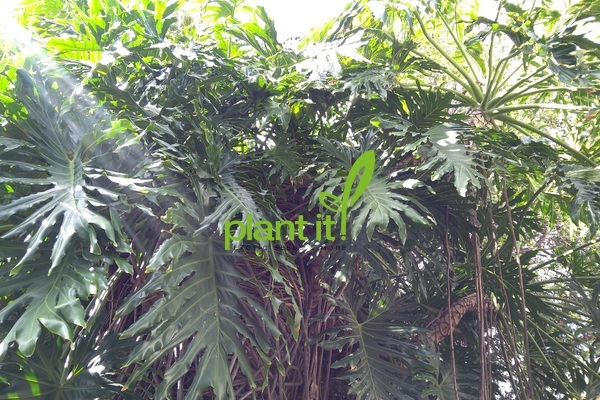 Philodendron (selloum) bipinnatifidum