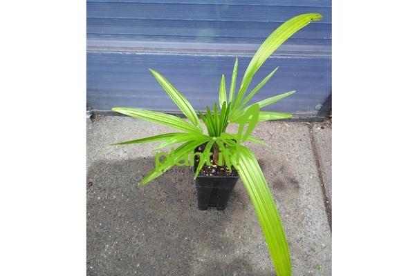 Trachycarpus princeps x wagnerianus F1