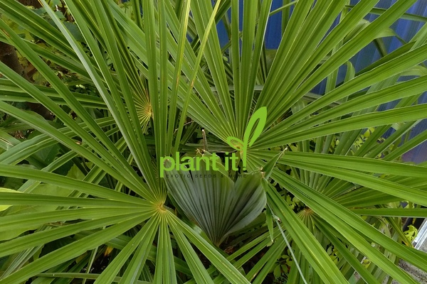 Trachycarpus fortunei Nainital