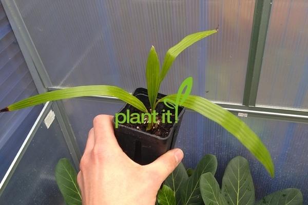 Trachycarpus manipur