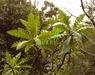 Sonchus fruticosus