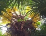 Trachycarpus fortunei 'Nederlandse oogst'