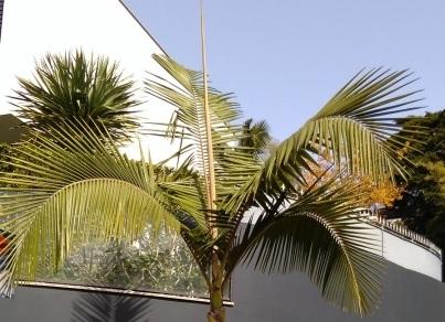 Palmzaden